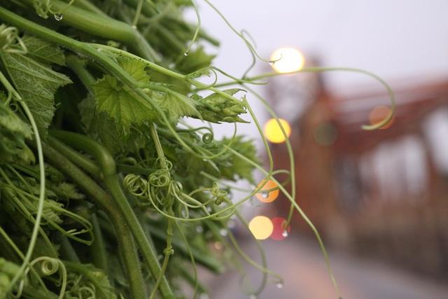 Hà Nội: Dậy từ 1h cắt rau bí, người trồng rau thu hàng chục triệu đồng/vụ - 11