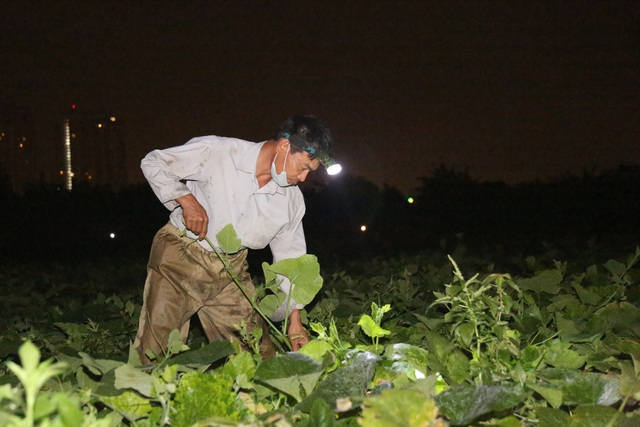Hà Nội: Dậy từ 1h cắt rau bí, người trồng rau thu hàng chục triệu đồng/vụ - 1
