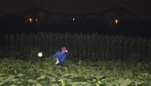 Hà Nội: Dậy từ 1h cắt rau bí, người trồng rau thu hàng chục triệu đồng/vụ - 2
