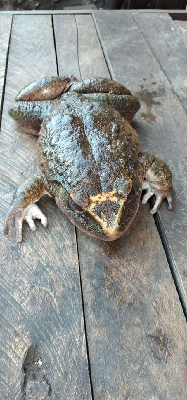Cận cảnh ếch khổng lồ to gần như đứa trẻ - 3