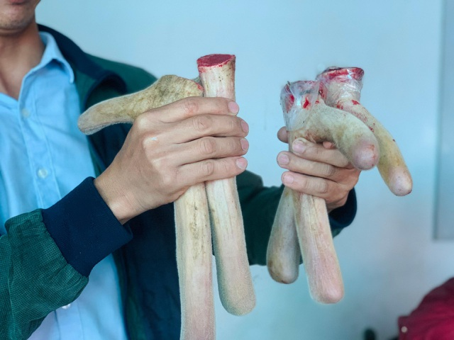 Nghề nuôi hươu sao chỉ cắt sừng non, mỗi cặp bằng cả tấn thóc - 2