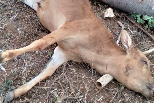 Bò chết hàng loạt, trong bụng chứa đầy rác thải - 3