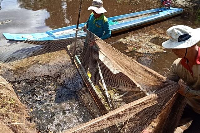 Về Cà Mau xem nghề chụp cá đìa - 3