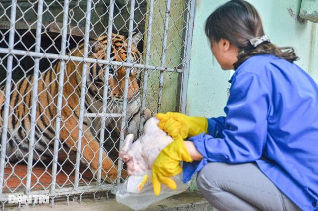 Lạ lùng người phụ nữ 20 năm tắm cho hổ, bắt rận cho sư tử - 4