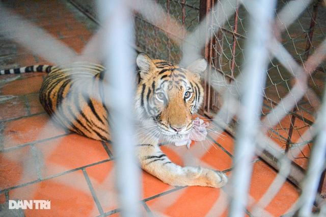 Lạ lùng người phụ nữ 20 năm tắm cho hổ, bắt rận cho sư tử - 6