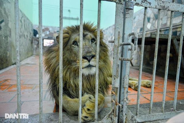 Lạ lùng người phụ nữ 20 năm tắm cho hổ, bắt rận cho sư tử - 3