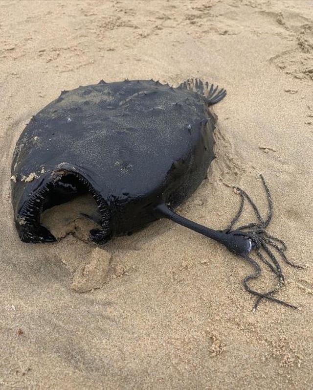 Đi dạo trên bãi biển phát hiện con cá có hình thù kỳ dị - 1