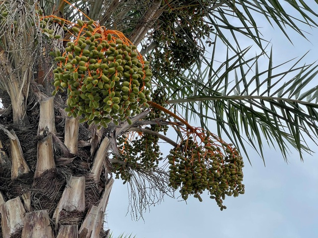 See the row of dates laden with fruit on the most beautiful route in Ha Long City - 8