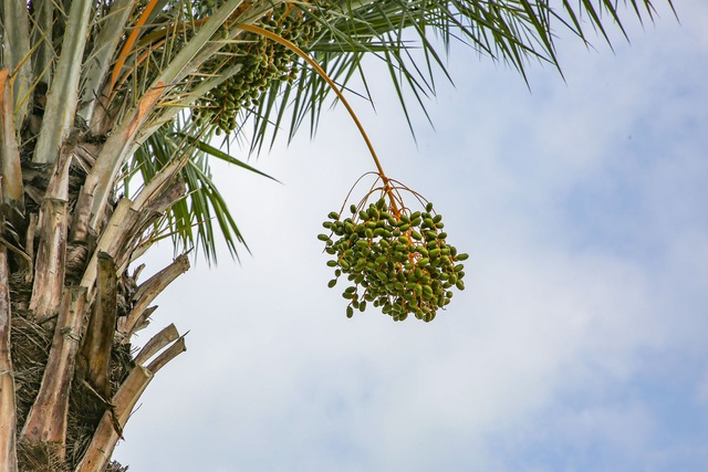 See the row of dates laden with fruit on the most beautiful route in Ha Long City - 6