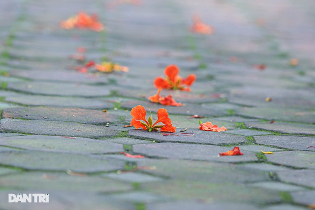 The streets of Hanoi are colorful with red phoenix flowers in May - 13