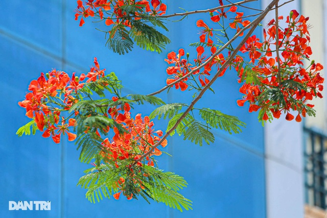 The streets of Hanoi are colorful with red phoenix flowers in May - October