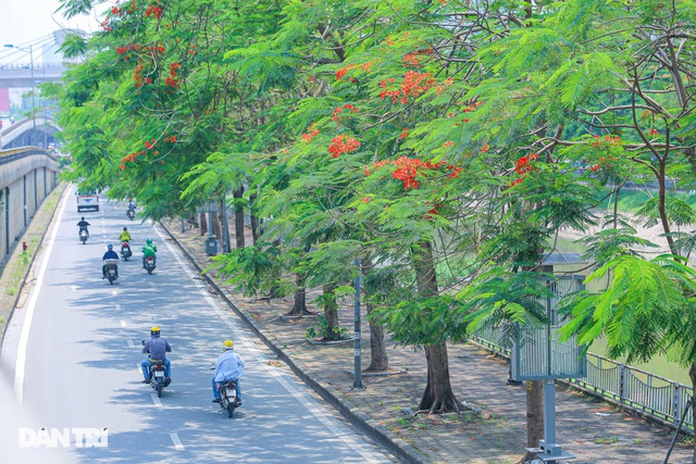 The streets of Hanoi are colorful with red phoenix flowers from May to September