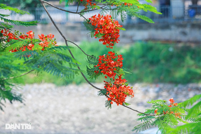 The streets of Hanoi are colorful with red phoenix flowers in May - January