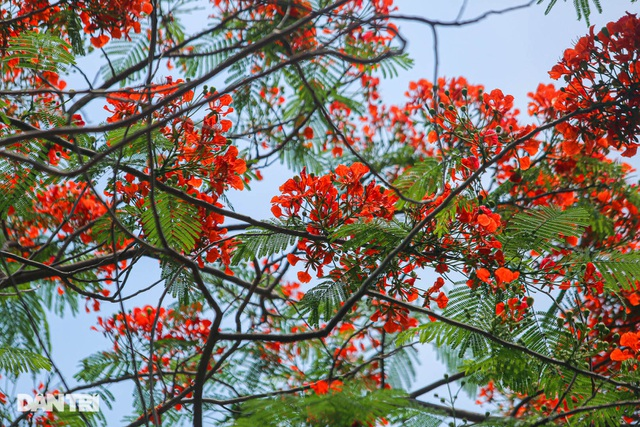 The streets of Hanoi are colorful with red phoenix flowers in May - July