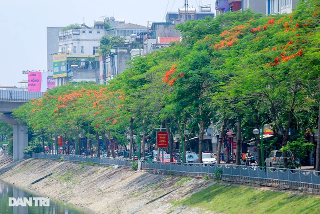 The streets of Hanoi are colorful with red phoenix flowers in May - April