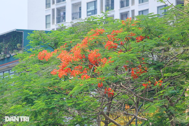 The streets of Hanoi are colorful with red phoenix flowers in May - June