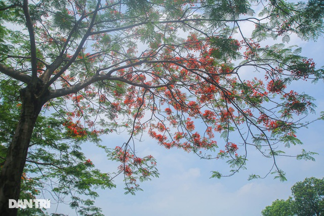 The streets of Hanoi are colorful with red phoenix flowers in May - August