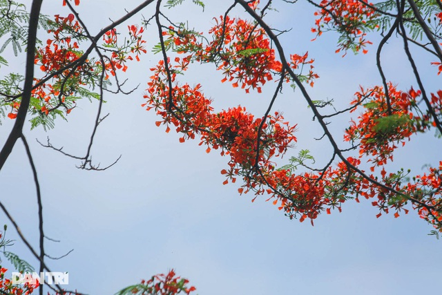 The streets of Hanoi are colorful with red phoenix flowers from May to December