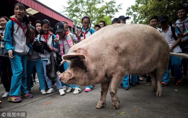 Chuyện xúc động về chú lợn nổi tiếng nhất Trung Quốc - 1