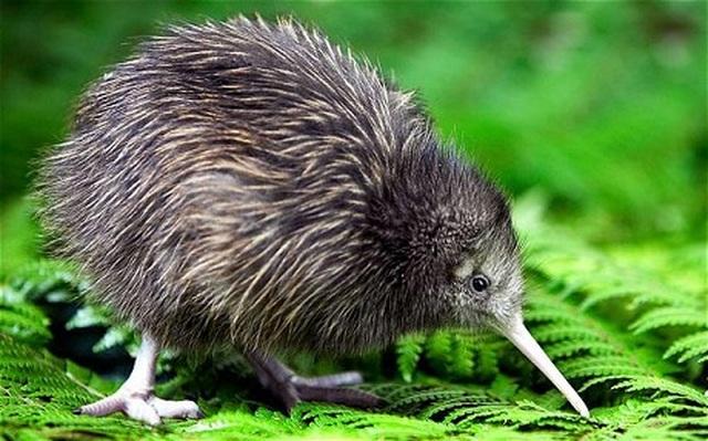 Tiết lộ thú vị về loài chim không biết bay nổi tiếng nhất thế giới - 1
