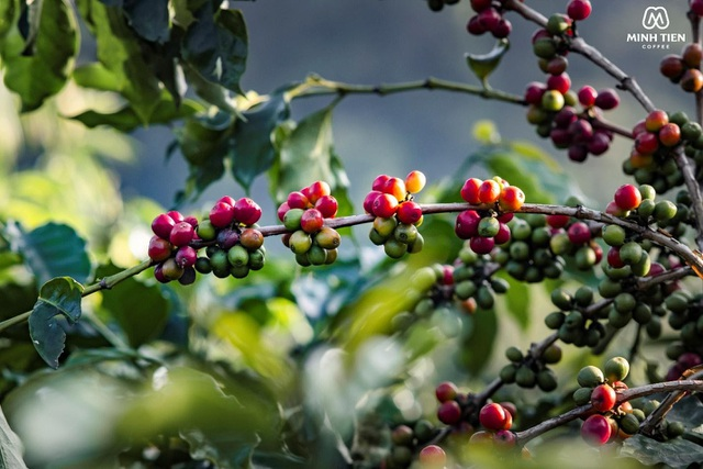 Cà phê Arabica - đặc sản trứ danh của vùng đất Sơn La - 1