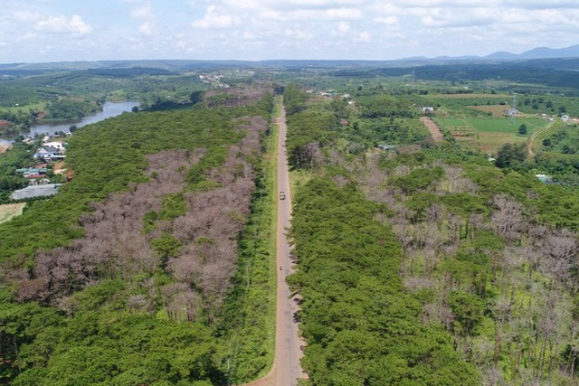 Chặt hạ hàng ngàn cây thông dọc con đường đẹp nhất Tây Nguyên - 1
