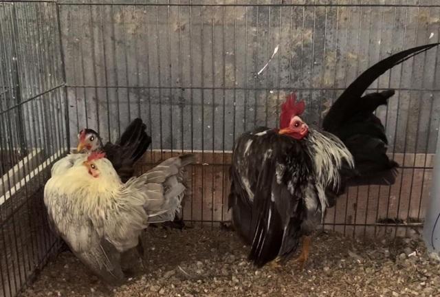 Nam huấn luyện viên thể hình bỏ việc về nuôi gà lực sĩ, thu lãi khủng - 3