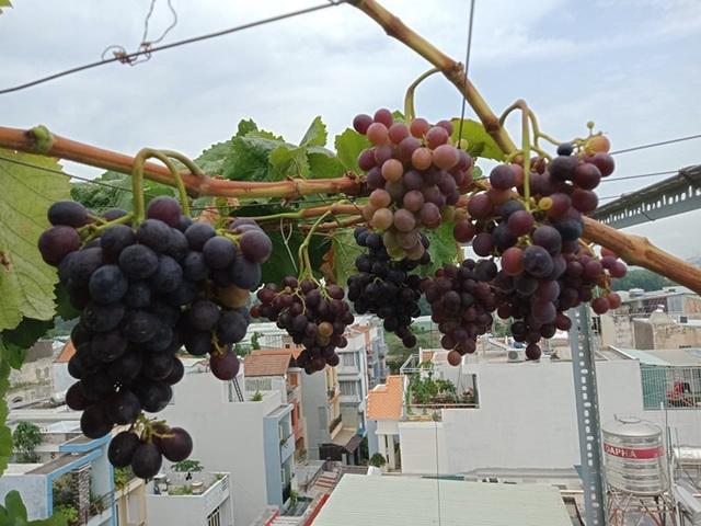 Cả gia đình ở Sài Gòn thỏa thích ăn trái cây nhờ khu vườn trên không - 10
