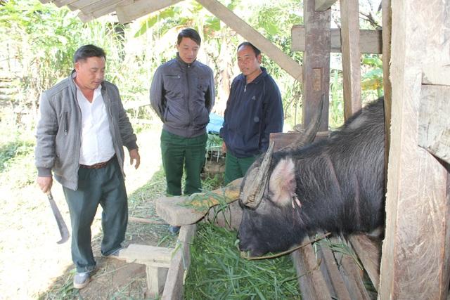 Cán bộ Đoàn 4 hướng dẫn bà con đồng bào Mông chăm sóc, phòng bệnh cho đàn trâu bò.