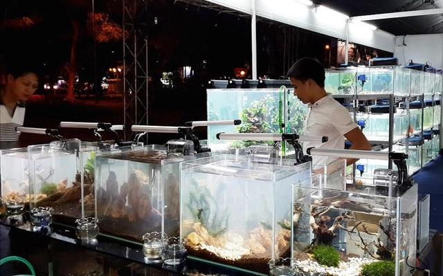 Lượng cá cảnh xuất khẩu ngày càng tăng