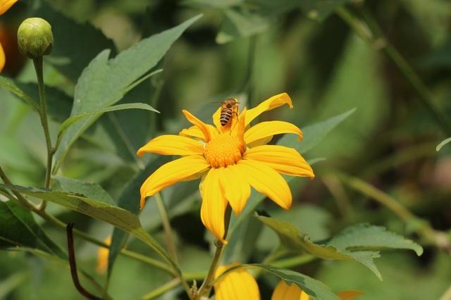 """Loài hoa dại mang màu vàng rực rỡ, tràn đầy sức sống, thể hiện lòng kiêu hãnh không bao giờ khuất phục, đại diện cho một tình yêu mãnh liệt và thủy chung. Nó được đặt tên là """"dã quỳ"""", """"dã"""" trong hoang dã; """"quỳ"""" có nghĩa là quỳ gục xuống, gắn liền với truyền thuyết về loài hoa này."""