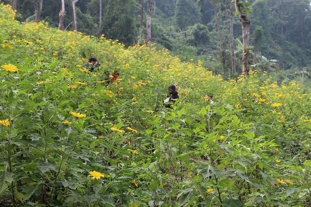 Cách trung tâm Hà Nội khoảng 1 giờ đồng hồ đi xe, vườn hoa dã quỳ tại Vườn Quốc gia Ba Vì trở thành địa điểm đến lý tưởng cho mọi người tới thăm quan và chụp ảnh vào mỗi dịp cuối tuần.