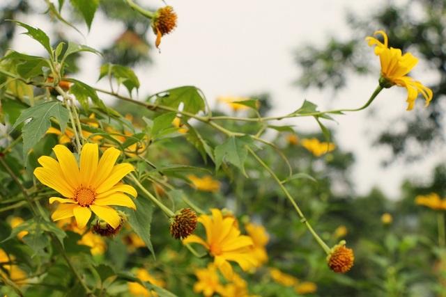 Dã quỳ hay còn gọi là Cúc quỳ, Sơn quỳ, Hướng dương dại, là một loài cây dễ mọc, sinh trưởng nhanh, thường ra hoa vào dịp cuối thu và đầu đông. Loài hoa này gắn với một truyền thuyết buồn và cảm động về tình yêu của nàng H'Linh và chàng K'Lang ở vùng Tây nguyên xa xôi.