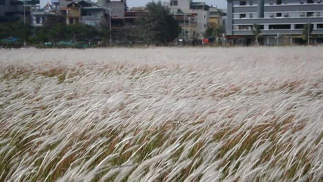 Thời gian lý tưởng để ngắm cỏ tranh là lúc sáng sớm hoặc xế chiều, khi ánh nắng mặt trời chiếu ngang tầm những bông cỏ trắng muốt. Đây cũng là thời điểm khung cảnh nên thơ, dễ chụp được những bức hình ưng ý.