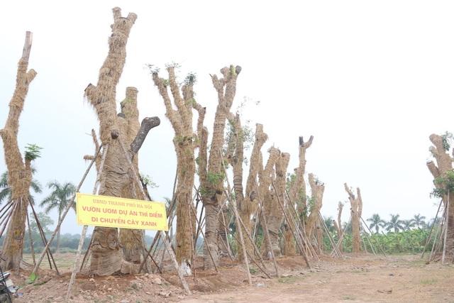 Tại vườn ươm, các thân cây cổ thụ này đều được bọc rơm để giữ ấm, bộ rễ của cây được cắt tỉa lại những đoạn bị dập, vỡ đồng thời bọc đất cát pha, xơ dừa để cung cấp chất dinh dưỡng.