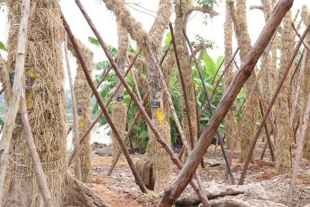 """Trao đổi với PV Dân trí, ông Trần Nam Mừng, đại diện đơn vị thực hiện việc di dời và hồi sinh hàng cây xanh trên phố Kim Mã, cho biết tính đến thời điểm này, các cây cổ thụ tại vườn ươm đều đang có dấu hiệu """"hồi sinh"""" tốt. Nhiều cây đã bắt đầu đơm lá, nảy mầm. """"Việc di dời cây xanh đặc biệt là những cây cổ thụ tỷ lệ rủi ro cao, không thể đảm bảo sống 100%. Trên tinh thần cao nhất là cứu sống cây, duy trì và nuôi dưỡng cây tiếp tục phát triển, chúng tôi sẽ cố gắng cứu sống cây sau khi di chuyển là 60%"""". Cũng theo ông Mừng, tính đến thời điểm này, trên tổng số 100 cây di chuyển về vườn ươm Văn Giang (Hưng Yên) mới có 3 cây xà cừ chết."""
