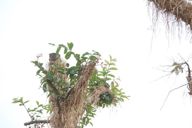 """Trong khi đó, trao đổi với PV Dân trí, chuyên gia thực vật Ts. Nguyễn Tiến Hiệp (Giám đốc Trung tâm Bảo tồn thực vật Việt Nam) cho biết, việc di chuyển cây cổ thụ về vườn ươm để chăm sóc, nuôi dưỡng thay vì chặt hạ là một ý tưởng tốt, nhiều nước trên thế giới đã thực hiện và áp dụng thành công. """"Đây có thể được xem là một cuộc đại giải phẫu. So với các loại cây nhỏ thì việc chăm sóc các loại cây cổ thụ sẽ gặp nhiều khó khăn, rủi ro hơn rất nhiều. Do bộ rễ và các cơ quan sinh học của nó đều đã phát triển, hoàn thiện. Chính vì thế, tôi cho rằng tỷ lệ 60% các cây sống sót sau khi di dời là một con số lớn và thành công"""", ông Hiệp nói. Chuyên gia này cũng cho rằng, việc nghiên cứu trồng các loại cây này ở địa điểm mới cần cân nhắc kỹ lưỡng đến vấn đề thổ nhưỡng, khí hậu để cây có thể sinh trưởng, phát triển tốt."""