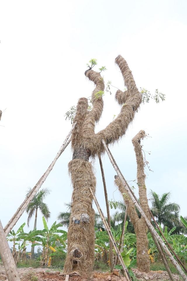 """Những cây xà cừ ở ven hồ Thủ Lệ (Kim Mã) đa phần là những cây có tuổi đời từ 60 – 80 năm. Chính vì thế, quá trình chăm sóc, """"hồi sinh"""" những cây này gặp nhiều khó khăn. Đội ngũ chăm sóc, kỹ thuật viên phải áp dụng nhiều biện pháp kỹ thuật trong đó phải nghiên cứu, điều chế các loại thuốc chống nấm mối, kích thích rễ và lá cây phát triển."""