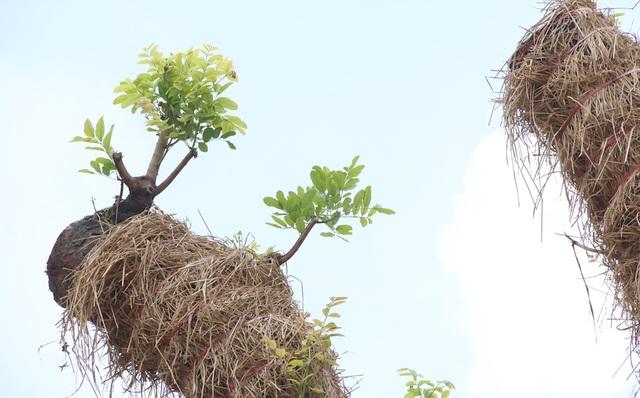 Nhiều cây cổ thụ lâu năm tại vườn ươm đã bắt đầu nảy mầm, đâm chồi... Đây là dấu hiệu tốt cho thấy các cây xà cừ này đã bắt đầu hồi sinh, phát triển tốt