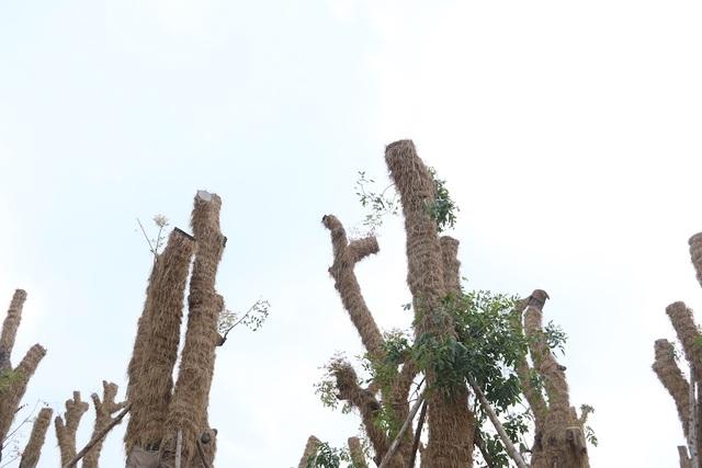 Được biết, số cây xà cừ này sẽ được chăm sóc, nuôi dưỡng tại vườn ươm Văn Giang (Hưng Yên) trong vòng 1 năm sau đó sẽ được TP Hà Nội cân nhắc, trồng mới tại các địa điểm thích hợp.
