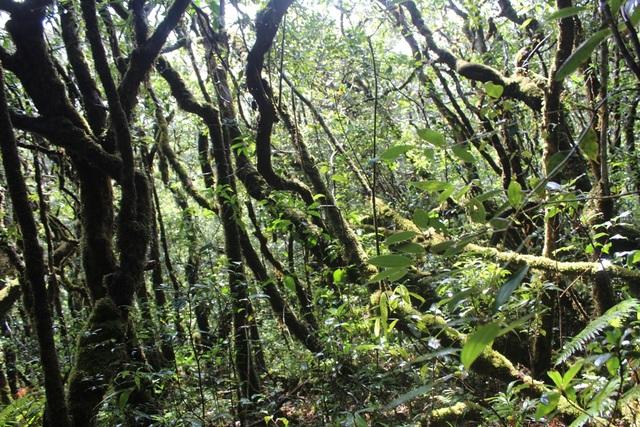 Rừng đỗ quyên dày đặt trên đỉnh Trường Sơn vừa được phát hiện