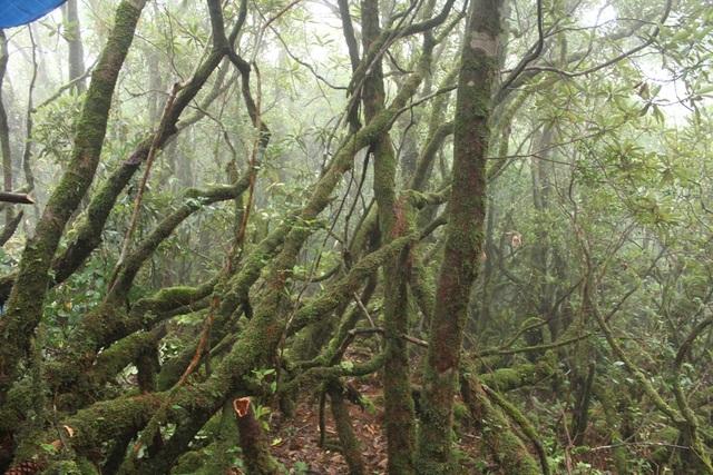 Rất nhiều cây đỗ quyên còn nguyên vẹn ở khu rừng