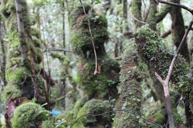 Hình thù cây đỗ quyên rất kỳ bí