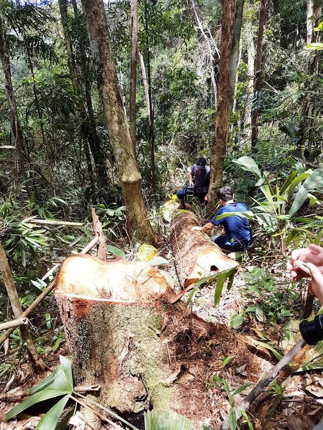 Hiện trường rừng pơmu bị ngã đổ do lâm tặc tàn phá