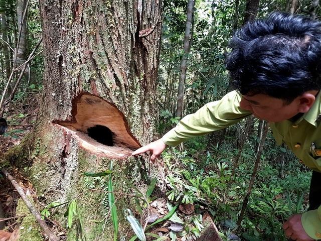 """Một cây gỗ pơmu bị lâm tặc """"chê"""" do rỗng ruột"""