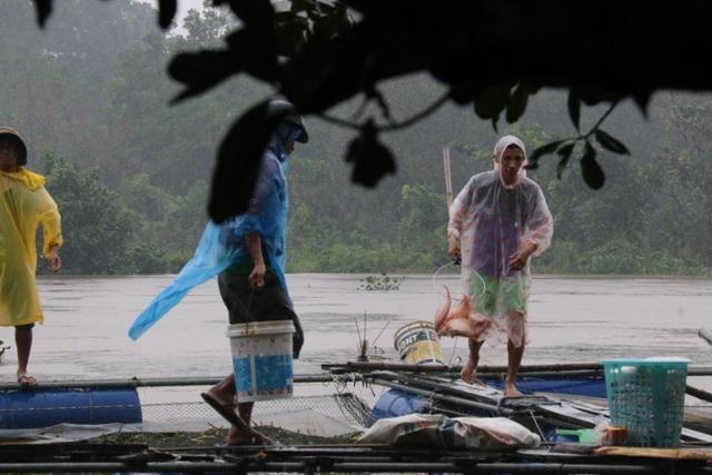 Lồng bè nuôi cá của người dân trên sông Tam Kỳ bị thiệt hại do nước lũ về
