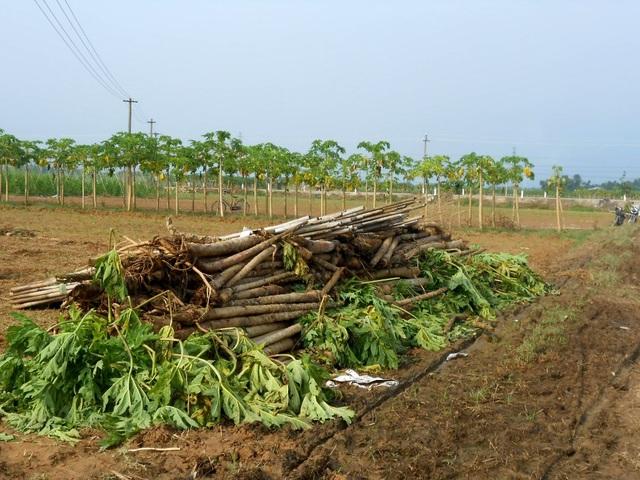 Nông sản của bà con ở huyện Đại Lộc bị hư hại nặng do mưa lũ
