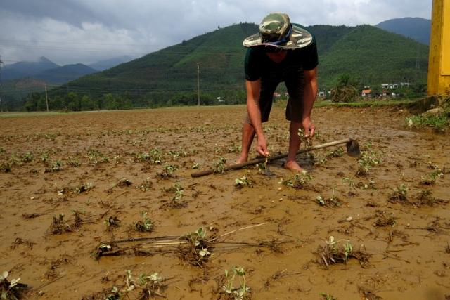 Những ruộng đậu phộng đã bị lũ muộn làm hư hại toàn bộ
