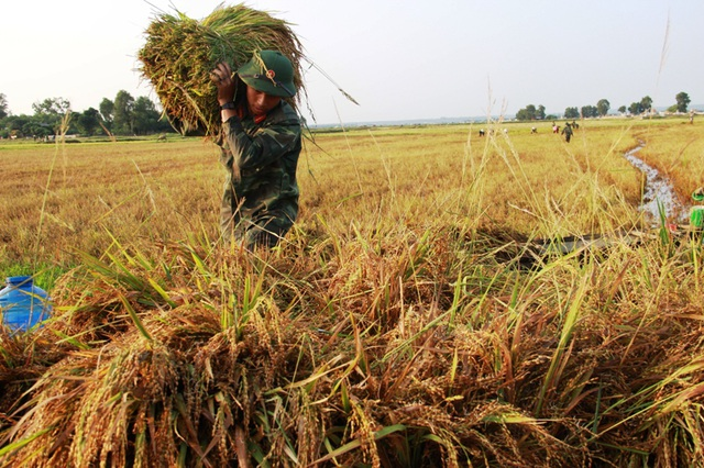 Các chiến sĩ trẻ nhiệt tình giúp dân gặt lúa