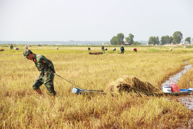 Sử dụng thuyền kéo ra giữa đồng ruộng để thu hoạch lúa